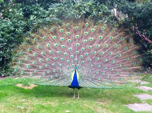 Percy peacock