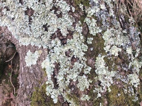 Lichen bark2